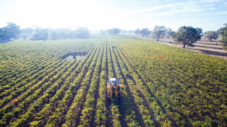 Balnaves vineyard